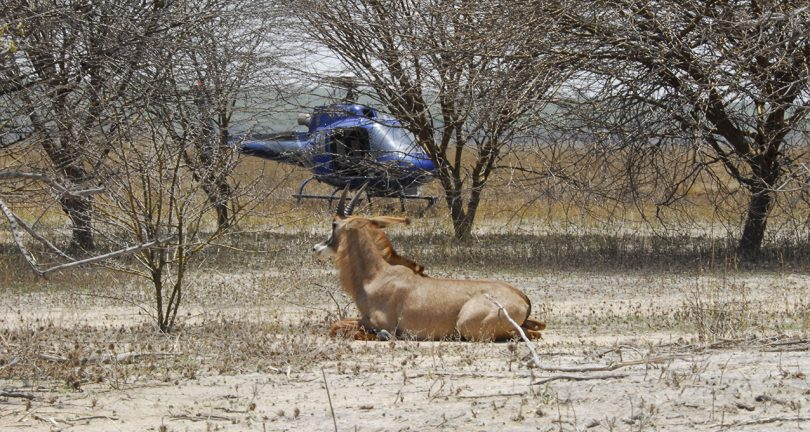 Sable antelope being collared in Ruaha, Tanzania