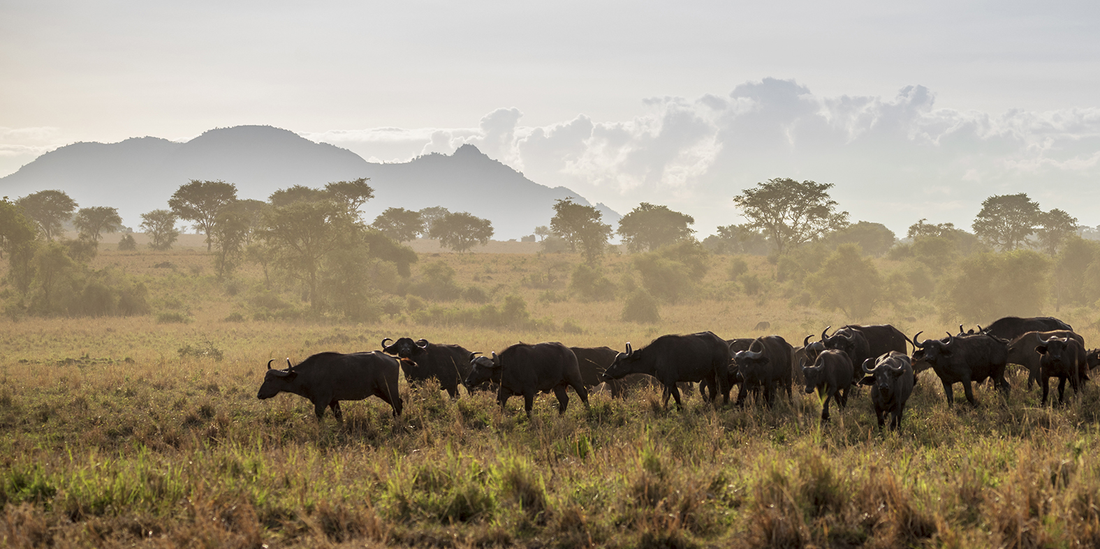 Buffalo, Kidepo National Park