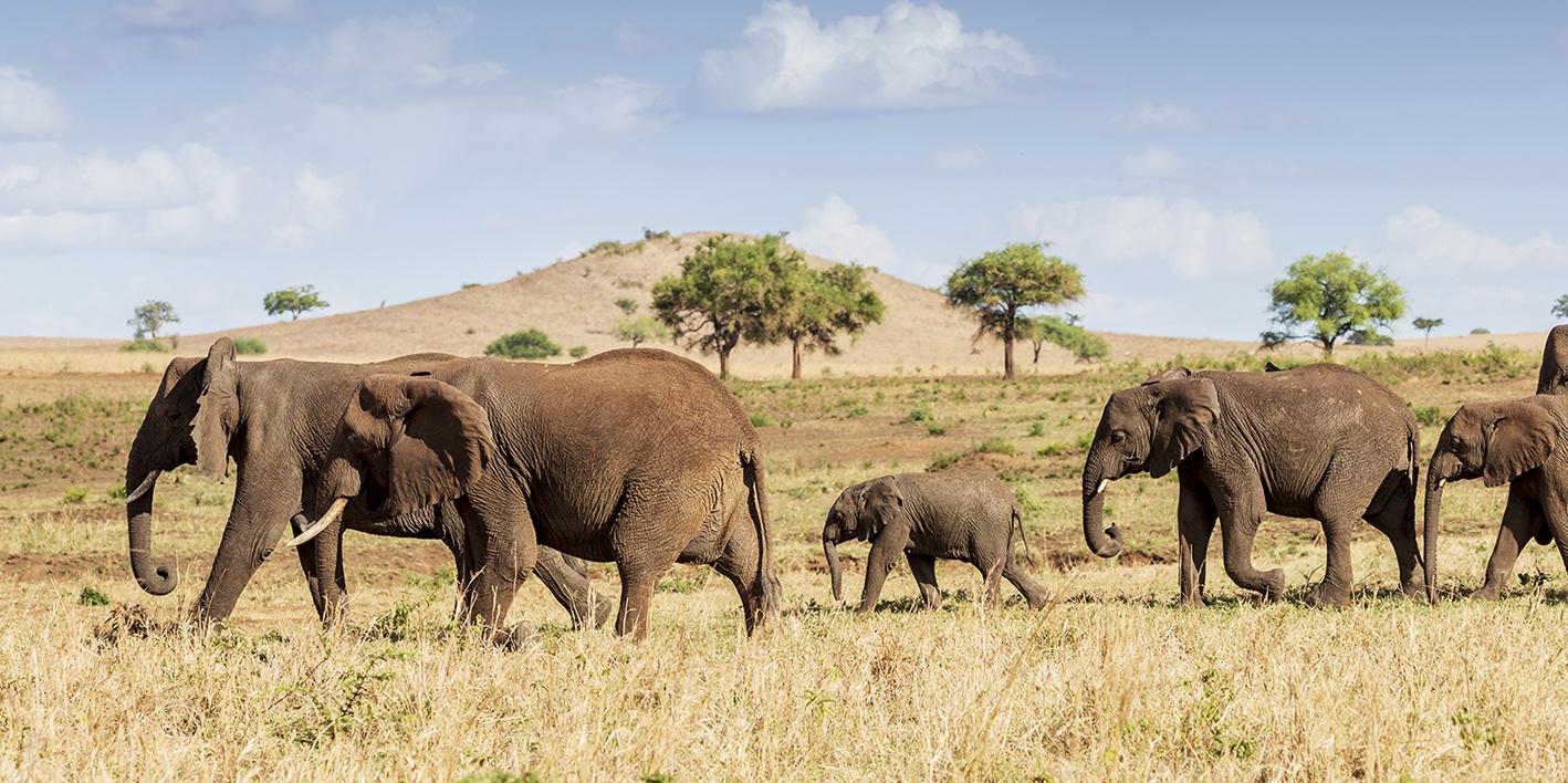 Elephants at Kidepo National Park, Uganda